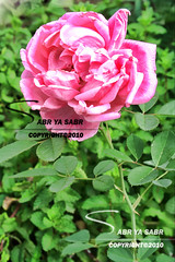 (R..W  ) Tags: pink flower nature rose rosa natura fiore       floreali