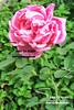 (R.©.W صبر ياصبر) Tags: pink flower nature rose rosa natura fiore ورود ورد ورده وردي اخضر طبيعه floreali زهري