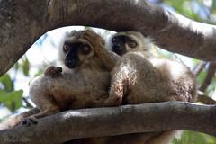 Sanford's brown lemur (François Dorothé) Tags: animal animals fauna reserve lemur lemurs animaux endemic madagascar sanford faune malagasy ankarana diegosuarez antsiranana lémuriens lémurien eulemur montagnedambre lémur endémique endémisme sanfordsbrownlemur eulemursanfordi lémurdesanford françoisdorothé francoisdorothe