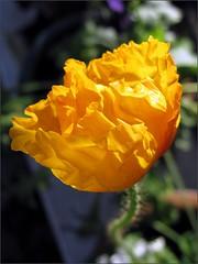 Gold Icelandic poppy