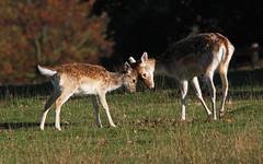 You & Me Kid (Dan Belton ( No Badger Cull )) Tags: doe deer fawn fallow bradgatepark damadama notsharpbutwhatdoesitreallymatter
