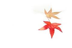 [フリー画像] 花・植物, カエデ科, カエデ・モミジ, 紅葉, 葉っぱ, 201011140700