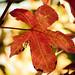 314/365: Fall Leaf