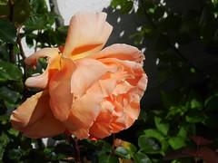 Soft and Gentle Rose, Footdee(Fittie), Aberdeen, July 2017 (allanmaciver) Tags: colours rose aberdeen north east coast scotland orange pink pastel soft gentle bloom beauty delight enjoy admire allanmaciver