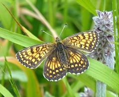 Mellicta athalia (Heath Fritillary) (TPittaway) Tags: mellictaathalia heathfritillary greece june2017 nymphalidae lepidoptera butterflies tonypittaway delphi thessaly