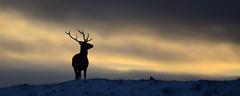 Stag Silhouette (Gavin MacRae) Tags: stag stagsilhouette reddeerstag cervuselaphus deersilhouette silhouette winterstag winterwildlife winter wildlife woodlandwildlife scottishwildlife scottishnature scottishhills highlandnature highlandwildlife highlands highlandsofscotland strathglass glenaffric glenstrathfarrar glencannich deer sunset nature nikon scotland