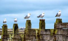 mine mine mine (LoomahPix) Tags: 7dwf d750 england flickr gb nature nikon suffolk uk walberswick bird fauna gull natural sky
