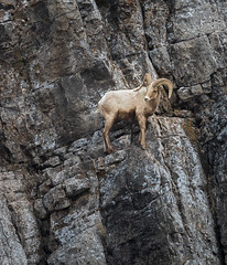 Come On Up (David Recht) Tags: grandteton bighornsheep jackson wyoming unitedstates us