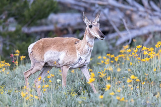 Pronghorn Doe (Antilocapra americana) walking through Arrowleaf Balsamroot (Balsamorhiza sagittata) - Grand Teton National Park
