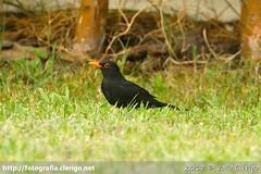 Common Blackbird (Turdus merula) - Melro Preto (João Clérigo) Tags: ave bird commonblackbird melropreto turdusmerula