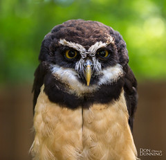Spectacled Owl Female (Pulsatrix perspicillata) (Don Dunning) Tags: animals bird birds britishcolumbia canada canadianprovince northcowichan owl raptor raptorcentre spectacledowl vancouverisland