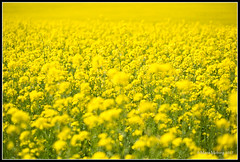 Field (mmoborg) Tags: yellow field raps sweden mmoborg landscape