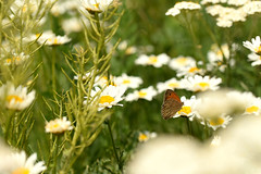 Dance of a butterfly... (Maria Godfrida) Tags: nature green flora flowers daisies butterfly fauna insect closeup outdoor whiteflowers 7dwf