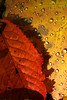 After the rain, the sun (eosfoto) Tags: france colour nature colors rain closeup contrast canon drops flora ngc natuur alsace frankrijk bos schaduw 2009 zon soe regen bui herfstkleuren druppel takeabow druppels elzas naturesfinest regenbui otw theworldwelivein supershot flickrsbest bej platinumphoto aplusphoto ultimateshot diamondclassphotographer flickrdiamond theunforgettablepictures platinumheartaward theperfectphotographer goldstaraward spiritofphotography vosplusbellesphotos waterenvirons thebestofcengizsqueezeme2groups adriënnesmagicalmoments
