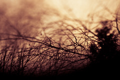 044. Scorched Turbulence (prenetic) Tags: trees sunset sky blur tree campus evening washington bush branch bokeh branches microsoft redmond twig twigs bushes microsoftcampus tiltshift manualtiltshift