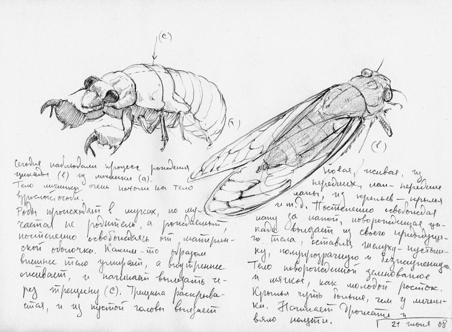 cicada's-birth