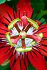 Passion Flower (T Ξ Ξ J Ξ) Tags: flower indonesia jakarta passion 60mm nikkor d300 naturesfinest teeje anawesomeshot ultimateshot theunforgettablepictures
