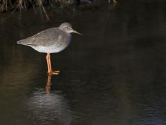 On thin ice (Chalto!) Tags: bird hampshire tringa marsh normandy ornithology avian lymington redshank wader 15challengeswinner