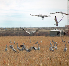 Cranes (Storm_Front) Tags: cranes sandhillcranes