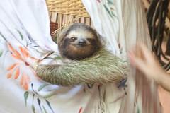 Sloth Chillin'