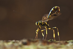 ... female Ichneumon wasp laying egg ... (liewwk - www.liewwkphoto.com) Tags: park family wild orange plant macro green eye nature animal closeup fauna bug garden insect flying leaf flora wasp outdoor wildlife leg wing foliage malaysia ichneumon wilderness antenna 1111 parasitic predatory hymenoptera stinging vespidae apocrita ichneumonidae hymenopteran ichneumonoidea braconidae suborder liewwk ichneumonflies parasitic wasps