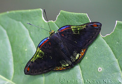 Trochilus Metalmark (Caria trochilus) (macronyx) Tags: peru nature butterfly insect wildlife insects papillon mariposa schmetterling farfalle fjäril metalmark caria sommerfugle riodinidae perhoset riodininae riodinini trochilusmetalmark cariatrochilus rainbowmetalmark