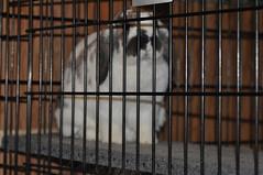 20100114_8 (sensitivebunnyguy) Tags: netherlanddwarfrabbit cutebunnies cutebunnyphotos