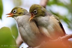 Backyard Birds - Silvereye Fledglings (Phil_LeCren) Tags: newzealand christchurch birds animals wildlife silvereye fledglings whiteeye waxeye backyardbirds pjl philnz1965 phillecren pjlphotography