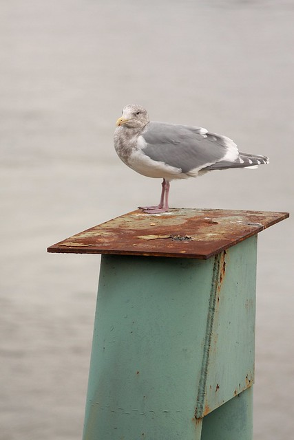 willamette seagull