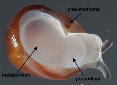 PedipesOvalis1