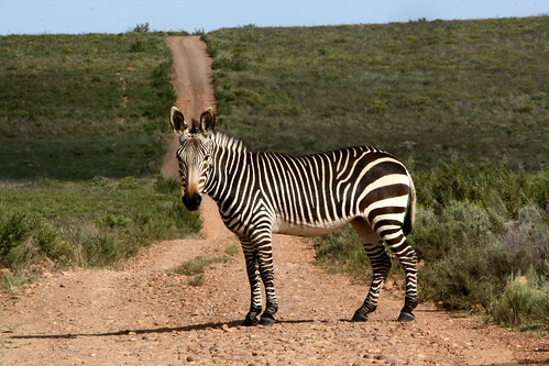 Cape Zebra, Bontebok National Park