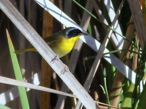 Common Yellowthroat 20100118