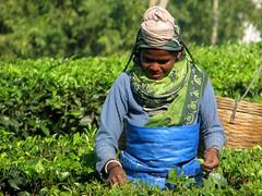 Tea picking lady (Linda DV (away for the WE)) Tags: people woman india canon geotagged tea fields assam 2008 sevensisters teafields 7sisters northeastindia teapicking powershots5is lindadevolder