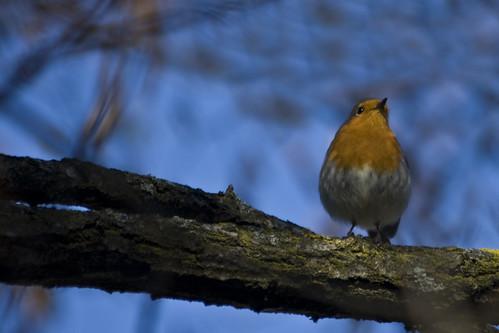Robin #1