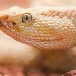 Neotropical Rattlesnake thumbnail