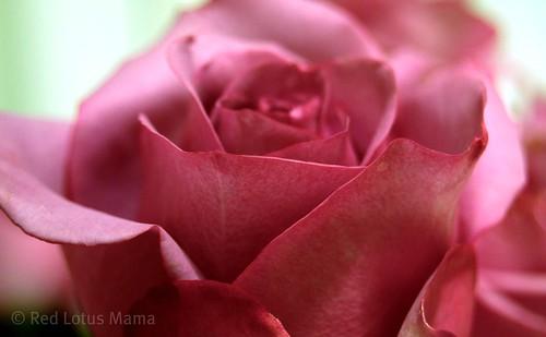 sterling rose