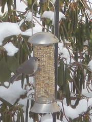 Tufted Titmouse (smiling-gardener) Tags: winter bird titmouse birdwatching