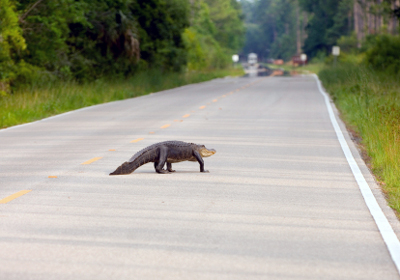 Large alligator on the road