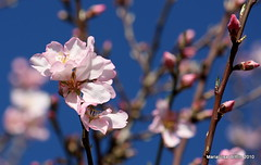 pink almond blossoms (Marlis1) Tags: pink flowers winter garden spain almond catalunya rosaceae naturesfinest prunusdulcis marlis1 diamondclassphotographer flickrdiamond canoneos1000d