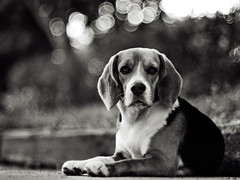 .a beaglE (27147) Tags: road street dog beagle pen 50mm bokeh voigtlander olympus f11 nokton ep2  27147