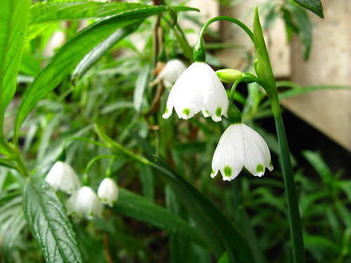 Galanthus or whatever.