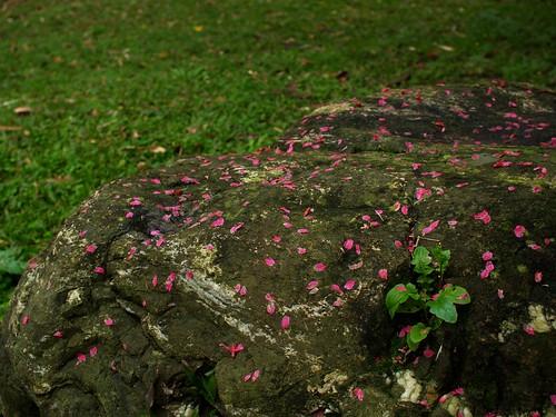 太晚來拍嘍~ 只好拍石頭上的花瓣