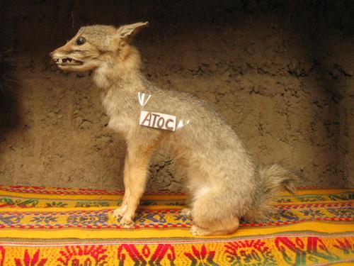 a baby fox
