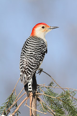 Red-bellied Woodpecker (Steve Byland) Tags: snow bird nature canon woodpecker 7d redbellied newjerseyusa featheryfriday carolinus melanerpes avianexcellence