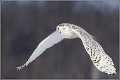 Owl (Snowy) - 1063 (Earl Reinink) Tags: flight raptor snowyowl snowyowlinflight earlreinink wwwearlreininkcom wwwipaintca