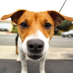 Well Hi There (Zachary Kinion) Tags: dog canon puppy jack russel terrier xsi