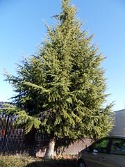 SDC10122 (daisy stanton) Tags: trees tree mountainview identification tamarack computerhistorymuseum larixlaricina treeidentification tamaracklarch