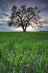 Valley Oak Farmland:  Davis, California (Ivan Sohrakoff) Tags: california sunset green clouds woodland landscape oak farm farming farmland mosquito valley crop crops sacramento davis oaktree ucdavis mosquitoes centralvalley valleyoak flatland landscapephotography neutraldensity ivansohrakoff
