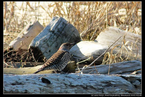 Female Northern Flicker (Colaptes auratus)