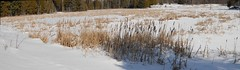 Bullrushes by a swamp : Autostitch (chasdobie) Tags: winter autostitch panorama snow ontario canada rural swamp bullrushes lanarkcounty dalhousietownship